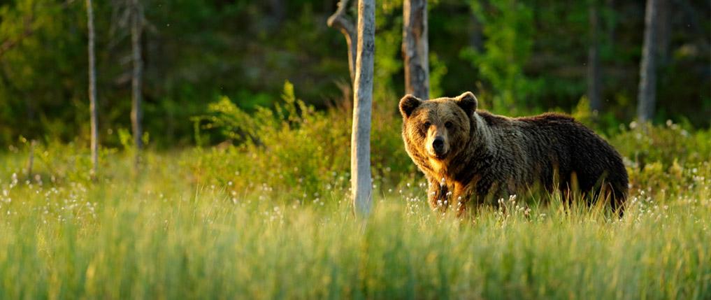 how far can a bear smell