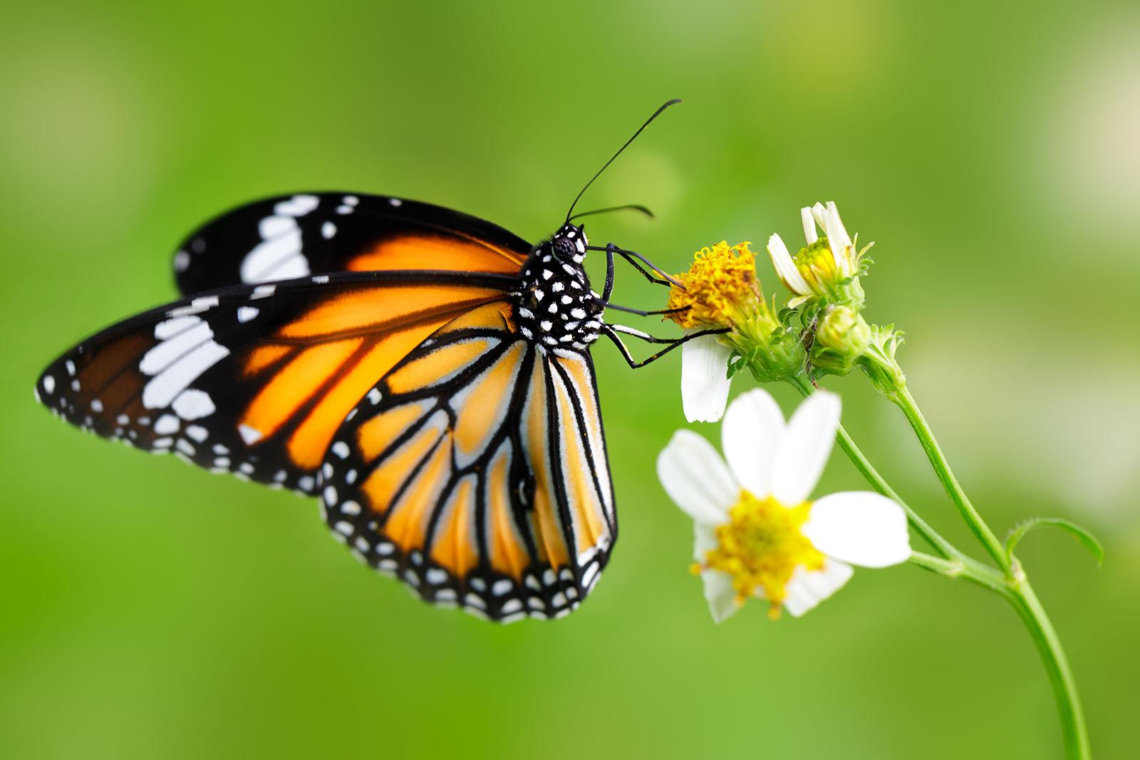 closeup butteryfly flower