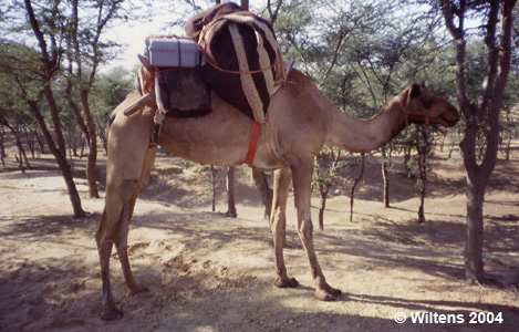 pelican discover survival story wiltens camel india