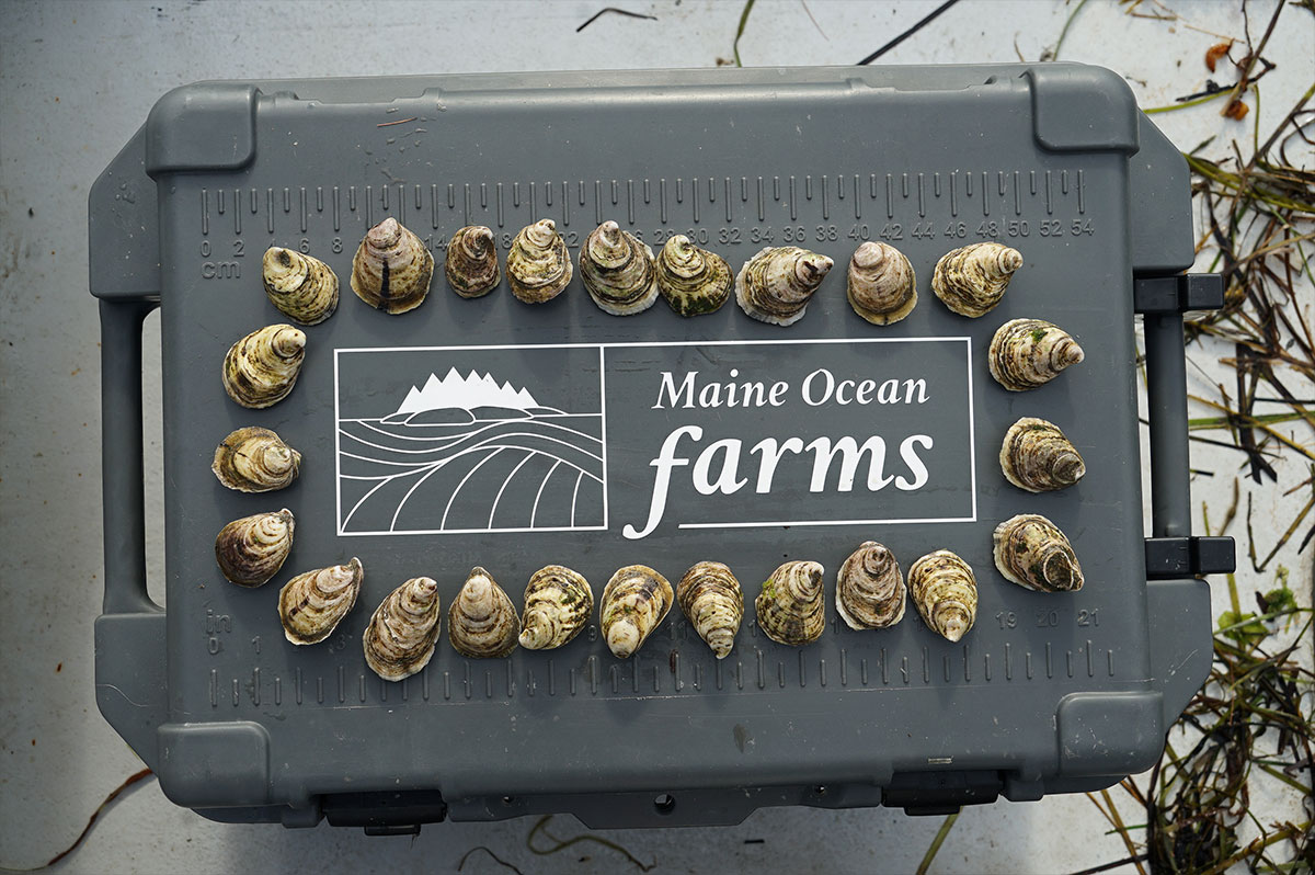 pelican pro team maine ocean farms oysters